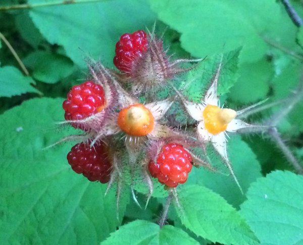 Ripening raspberries next to a Baldpate trail. The one on the lower left is ready to pluck (and was).